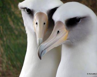 Laysan Albatross - Mōlī