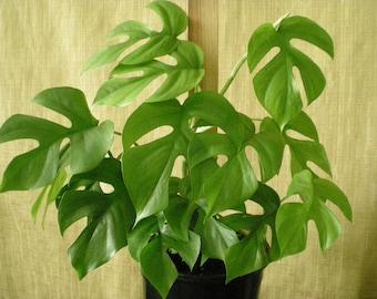 "50 Rhaphidophora tetrasperma Seeds, Philodendron imbe Ginny, Epipremnum ""Ginny"" Mini split-leaf Philodendron"