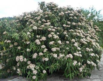 10 Viburnum rhytidophyllum Seeds,  leatherleaf viburnum Seeds