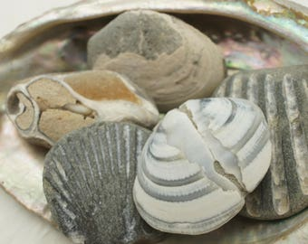 Fossil Shells - for Transformation and Personal Growth