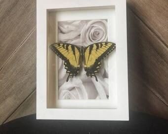 Blue butterfly, framed butterfly, butterfly art, insect art, entomology, boho decor, wanderlust decor, wanderlust, nature inspired