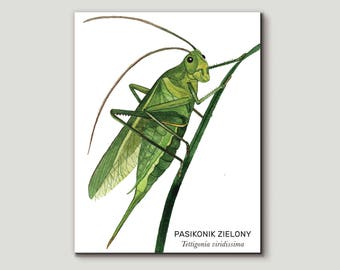 Pasikonik zielony, Great Green Bush-Cricket (Tettigonia viridissima) - illustration - print 13x18cm