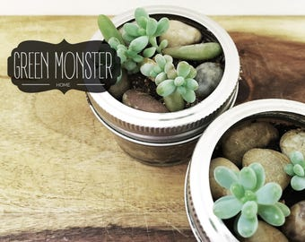 Live succulent plant, Jelly Bean plant for your desk. Plants size .5 - 1.5 inch in cute glass jar. Small Plant for Desk, Gift for Coworkers.
