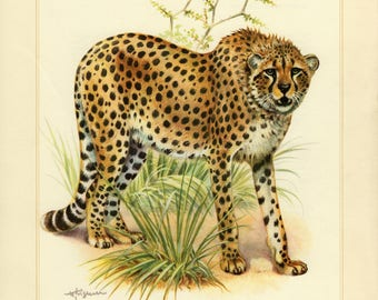 Vintage lithograph of the cheetah from 1956
