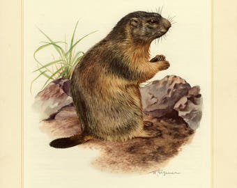 Vintage lithograph of the alpine marmot from 1956