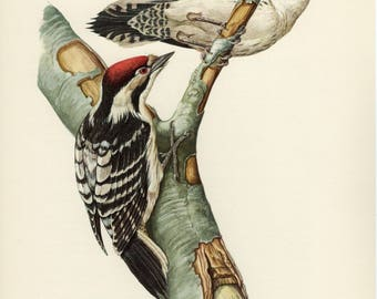 Vintage lithograph of the lesser spotted woodpecker from 1953
