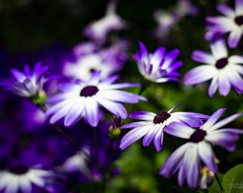 Purple Daisies Photo Print