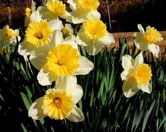 "10 Daffodil bulbs - ""Las Vegas"" - early bloomer in Spring"