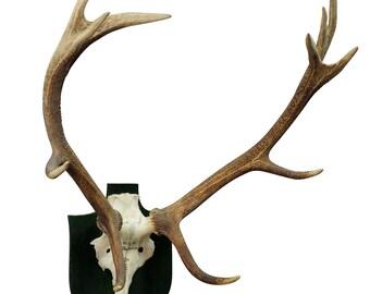 antique black forest deer trophy from salem - germany, kaltenbronn 1942