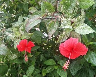 Hibiscus rosa-sinensis cooperi Plant Tropical Hibiscus FREE SHIPPING
