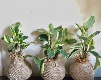 Kokedama: Peperomia Obtusifolia Albo-marginata