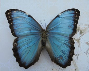 Blue Morpho Taxidermy Butterfly