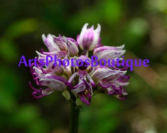 Monkey orchis