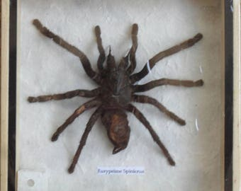 Real Eurypeima Spinicrus Spider Taxidermy in Wood Box /inf16