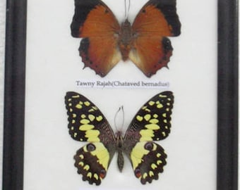 REAL 4 FRAME BUTTERFLY Wall Hanging Collection Taxidermy In framed /B04C