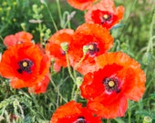 Poppies Blank Greetings C...