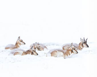 Wildlife photography. Pronghorns. Antelope. On a cold, snowy day in Wyoming. Color print.