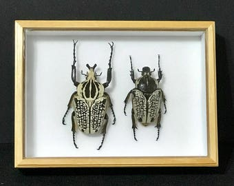 Pair Goliathus Orientalis - Real beetle - collectibles - espécimen -  taxidermia - coleccionable - insects
