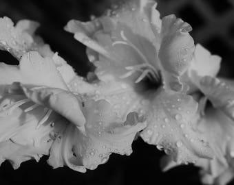 Black and White Gladiolas