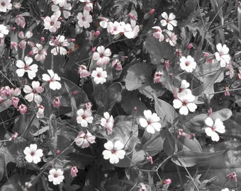 Pink flowers black and white