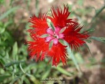 Dianthus- Superbus- Red- 100 Seeds