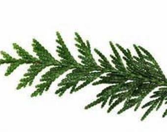 100% Pure Organic Western Red Cedar Hydrosol