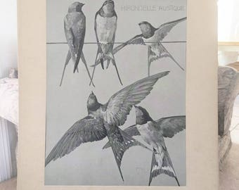 Antique Meheut Zoological Illustration of Swallows   Antique Offset Lithograph on Matted Portfolio Page  Antique Bird  Lithograph