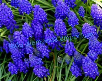 Grape Hyacinths, Very Hardy Spring Perennial Flower, 36 Bulbs