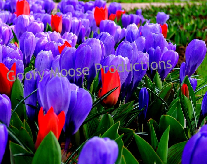 Flower Photo Instant Download - Purple and Red Flowers Art Photography - Netherlands Keukenhof Travel Photography