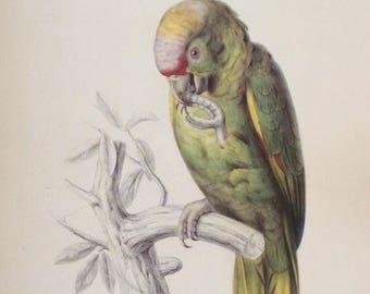 Yellow-cheeked Amazon, 1990s Reproduction Colorplate, Book Plate, 10 x 14 in. Book Page Print, Bird Print, Ornithology Print