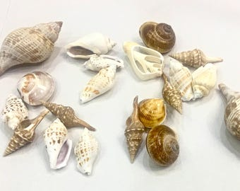 "Seashells - Mix of Brown and White Shells 1 c. - 1.5""-3.5"" sea shells beach decor wedding bulk shells crafting coastal"