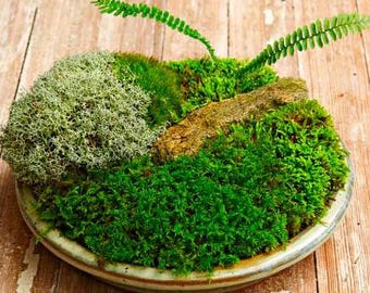 Superb Half Gallon Of Live Moss For Fairy Gardens Moss Gardens And Walk Ways Fresh  Terrariums Reptles