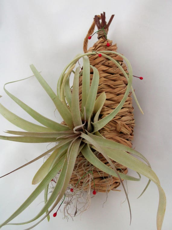 Hanging handmade rattan nesting pod is a perfect home for this large Capitata air plant.