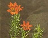 Orange Lily Vintage Postcard 1940s Stehli Publishing – Beautiful Floral Botanical Vintage Art Postcard Suitable For Framing