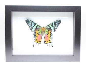 Real Madagascan Sunset Moth framed insect bug gift Urania rhipheus Chrysiridia rhipheus