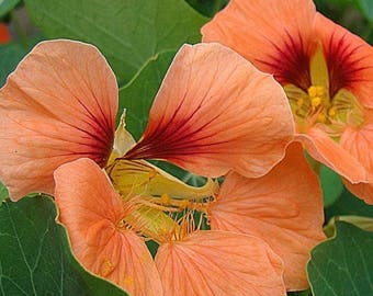 Salmon Baby Nasturtiums Edible Annual Flower Seeds