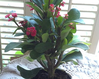 Organic Crown of Thorns Red Euphorbia Milii Live Plant