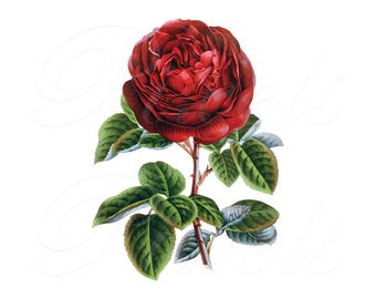 ROSE Instant Download, Digital Downloads, Image Digital, red rose for Valentines 307