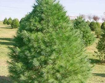 100 Eastern White Pine Tree Seeds, Pinus Strobus, Lake States