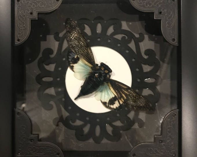 Real taxidermy green cicada display! Must see!