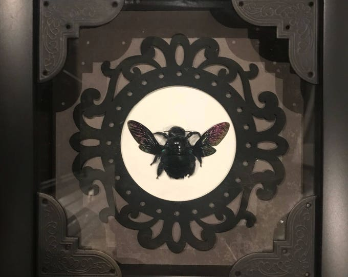 Real taxidermy black carpenter bee display!