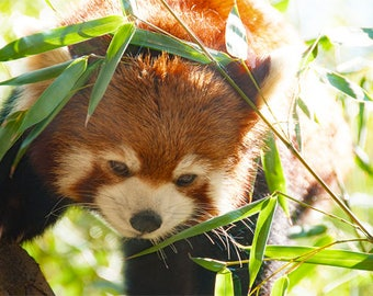 Red Panda Photo, red and green, fine photography prints, Red Panda