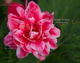 Begonia photography print, flower print, nature photography, pink flower fine art, summer decor, nursery wall art, wall art, pink begonia