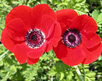 Anemona flower seeds,190,anemona flower seeds,pink purle flower mix,cosmea mix,spring flower,gardening