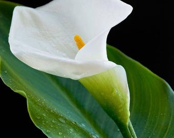 Calla lilly white flower seeds,191, holly maries lilly,flower seeds,  flower ,spring flower,gardening