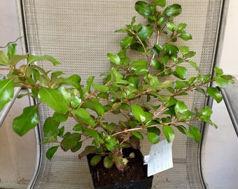 RARE Coprosma Plant, Thick leathery leaves Evergreen, A Perfect Housewarming Gift