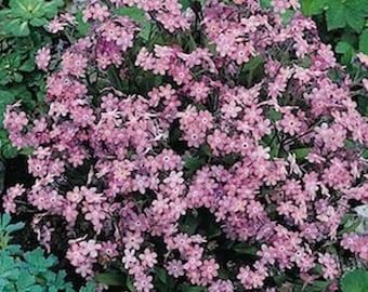 250 Forget-Me-Not Victoria Rose * 250 Seeds Myosotis Sylvatica ... seeds galore