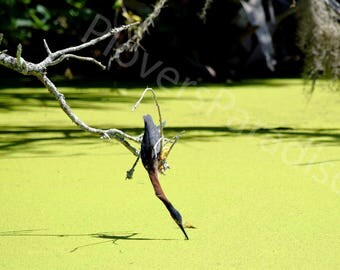 Set of Three Bird Photographs // Green Heron in the Swamp // Photography Print Set