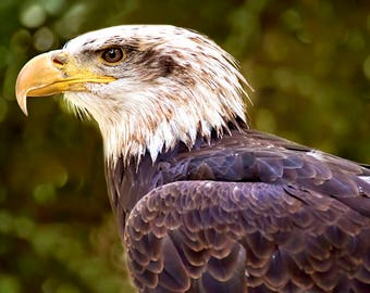 Eagle Photography, Bird of Prey, Bald Eagle Print, Eagle Wall Art, Raptor Decor, Wildlife Photography, Bird Photography, Eagle Head