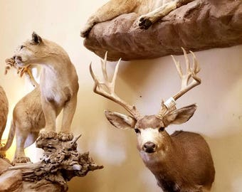 Large Nontypical Mule Deer Shoulder Mount Antlers. Real Taxidermy, Vintage, Home Decor, Log Cabin Decor. Rustic Deer Antlers